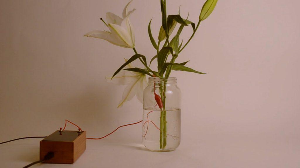 Поющее растение